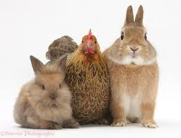 rabbits and chickens