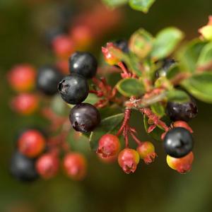 blueberriesnew