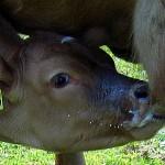 Calf-nursing