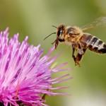 Honey-Bee2