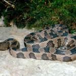 Northern Water Snake crossing a sidewalk