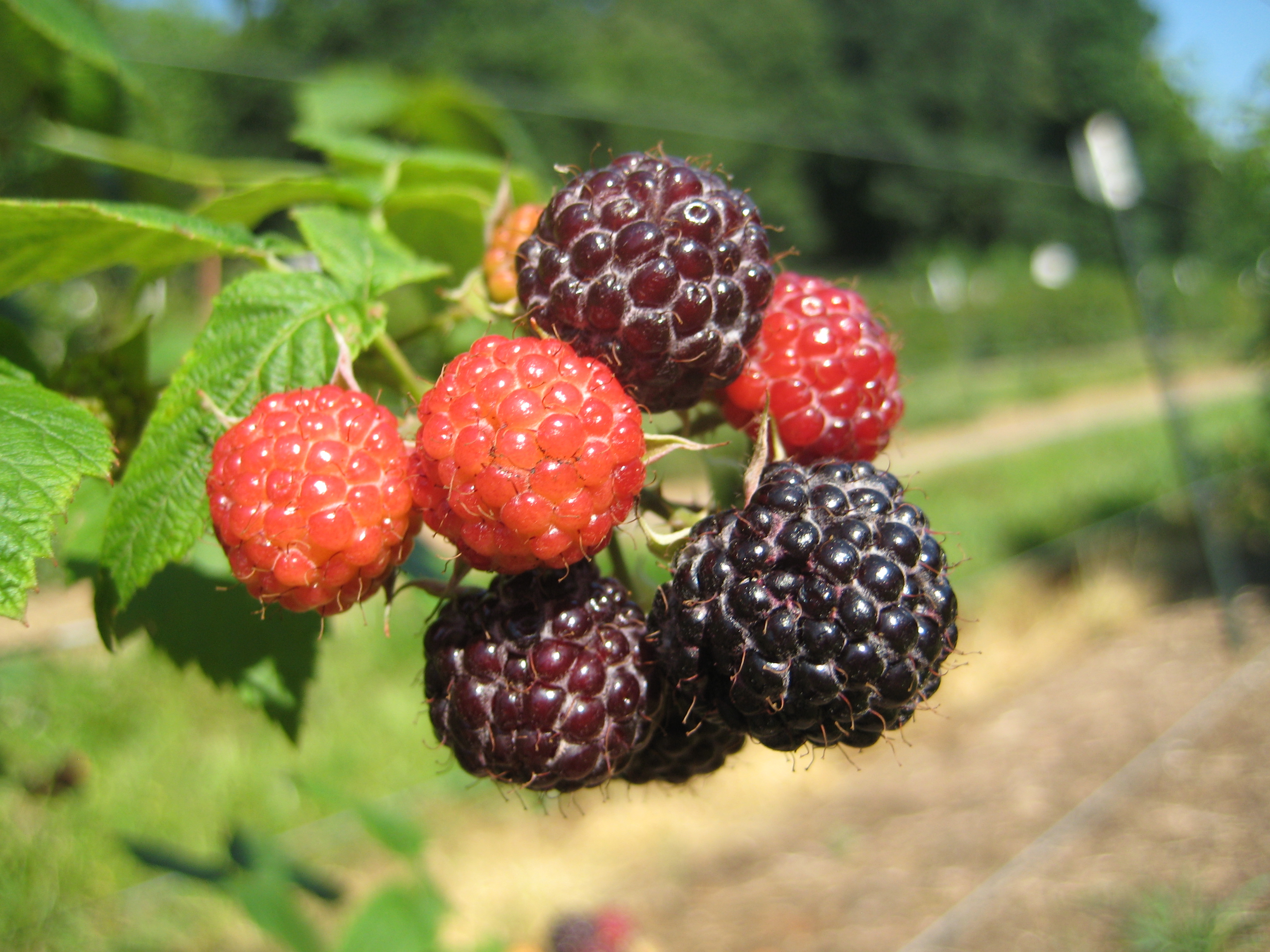 blackb raspberry great fruit cluster NC 348