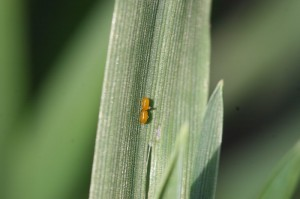 Cereal leaf beetle eggs.