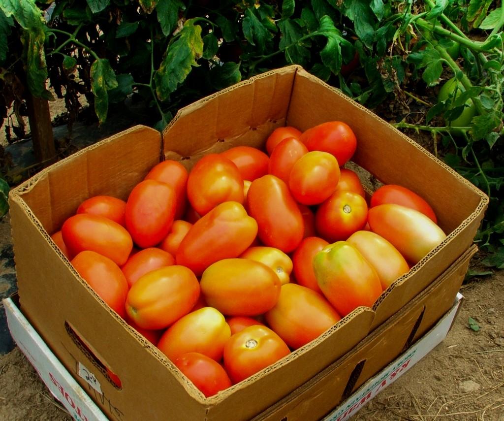 tomato breeding 08