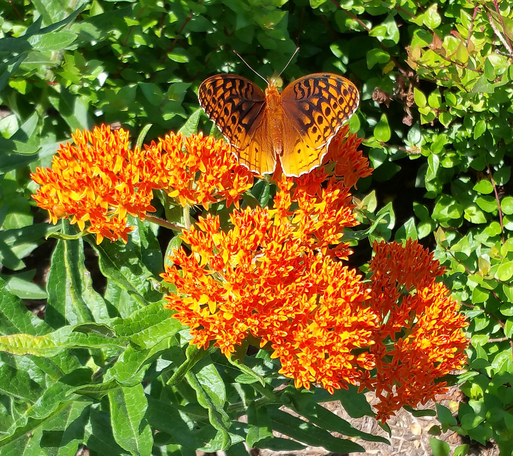 Great spangled fritillary nectaring on butterfly weed