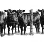 4_heifers