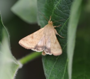 CEW moth adult