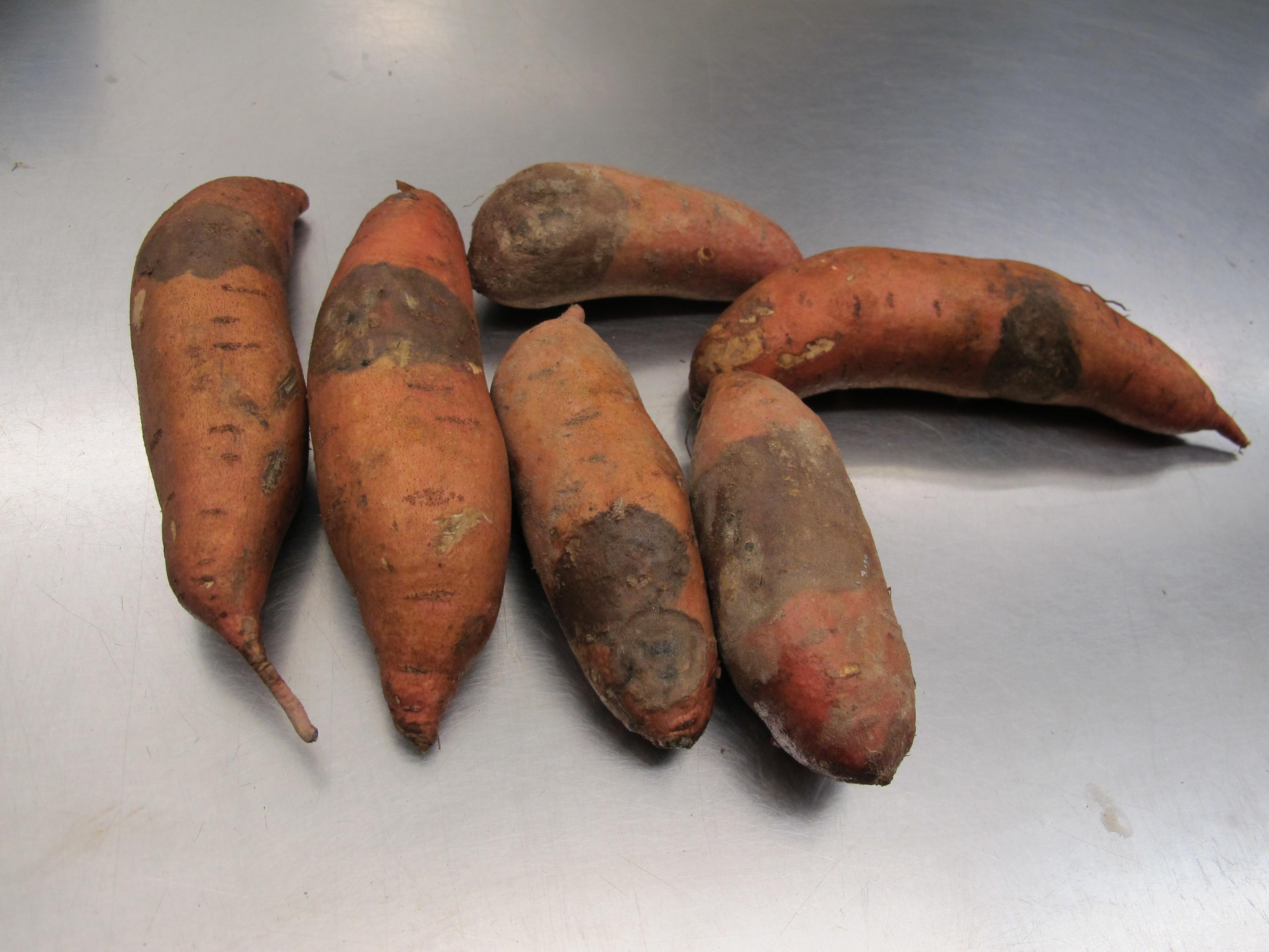 Fig. 1: Black rot of sweetpotato (Shawn Butler, NCSU PDIC)