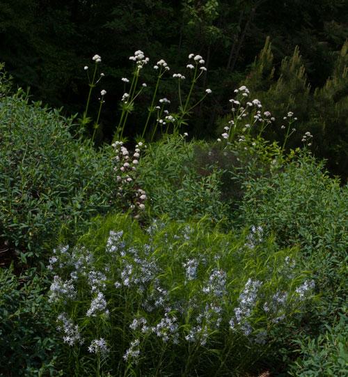 Bluestar, eastern ninebark, St. John's wort, and garden heliotrope