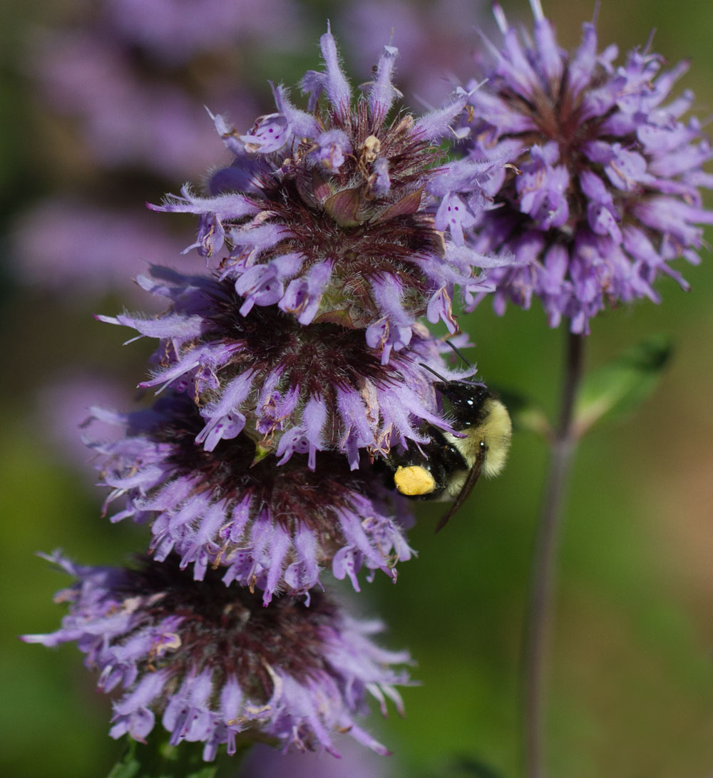 Bumble bee on downy wood mint