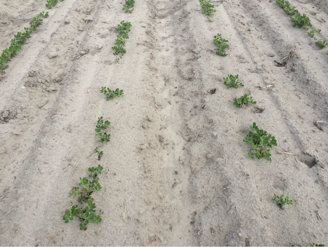 Low peanut population requiring a second planting of his field.