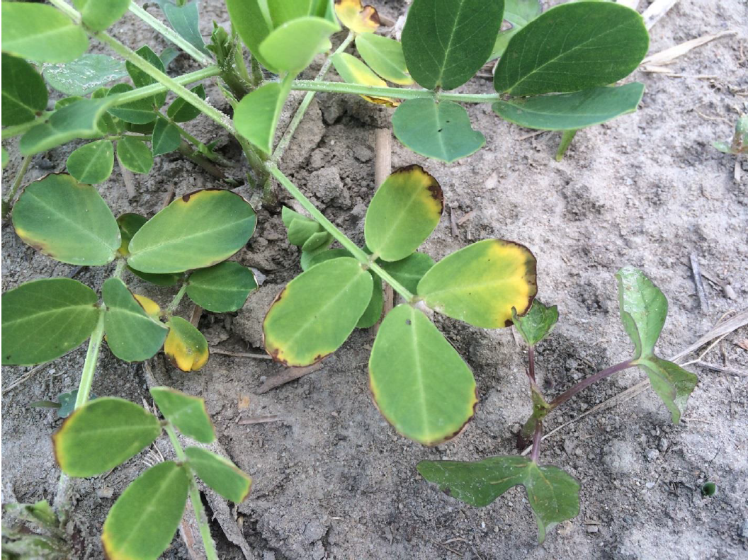 Relatively minor injury from the insecticide phorate on lower leaves of peanut canopy.