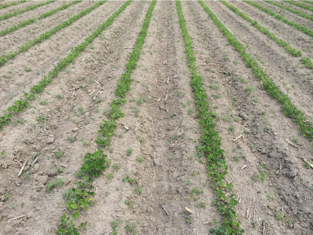Weeds escaping preplant and preemergence herbicides.