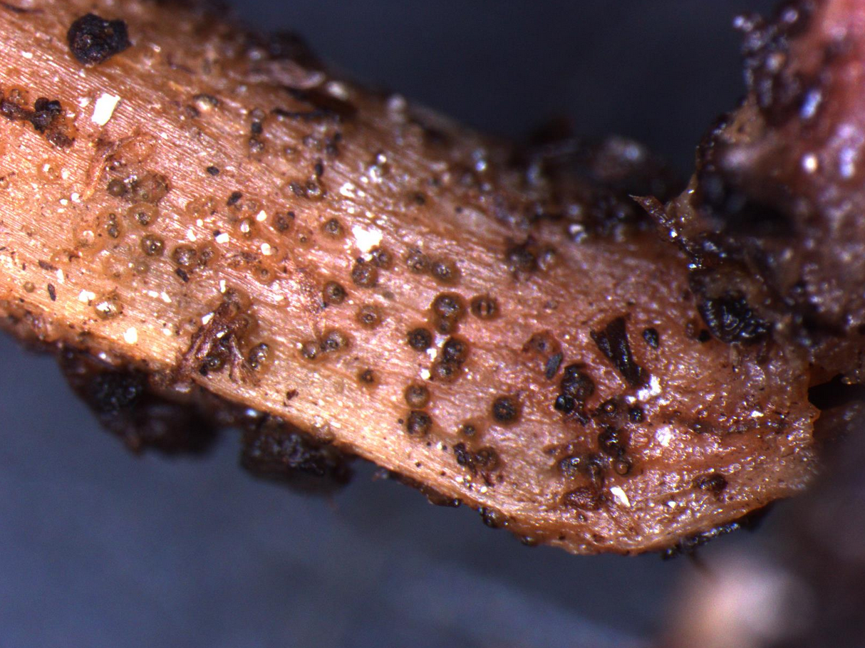 Fig. 1: close-up of a watermelon seedling stem infected with Didymella bryoniae seen under a microscope. Note the pycnidia (round, brown reproductive structures) on the surface. Pycnidia can be seen with a 10x handheld lens as small brown to black dots (Photo: Shawn Butler, NCSU Plant Disease and Insect Clinic)