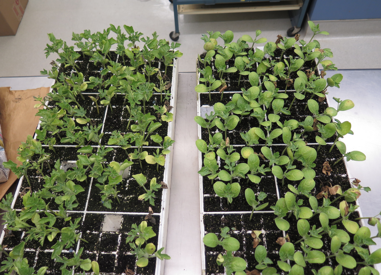 Fig. 3: Trays of watermelon transplants infected with gummy stem blight (Photo: Shawn Butler, NCSU Plant Disease and Insect Clinic)