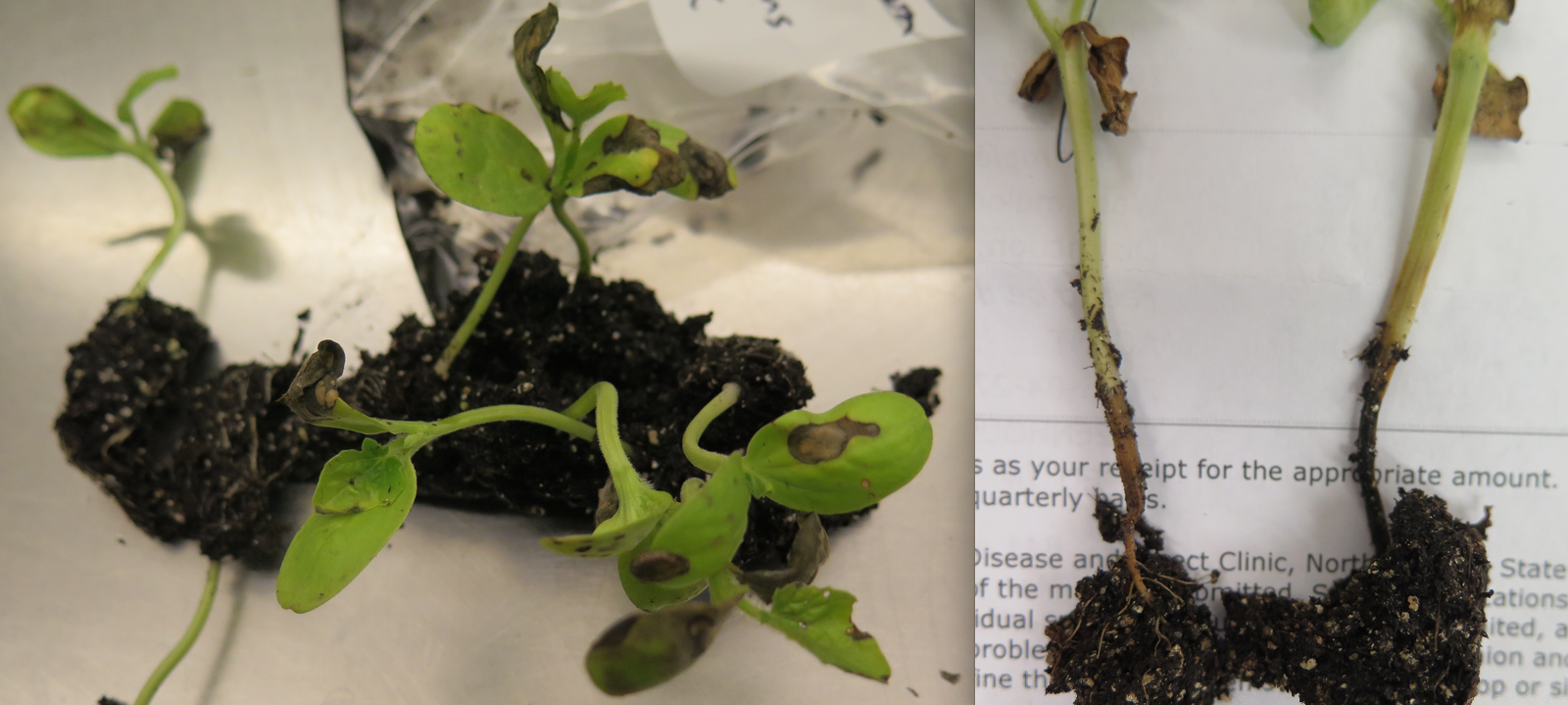 Fig. 2: water soaked lesions on crowns of infected watermelon seedlings and leaves with necrotic, brown lesions (Photo: Shawn Butler, NCSU Plant Disease and Insect Clinic)