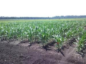 plots of corn growing