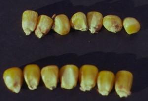Corn kernels infected with Fusarium moniliforme