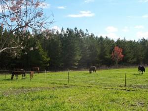 tiffs pasture