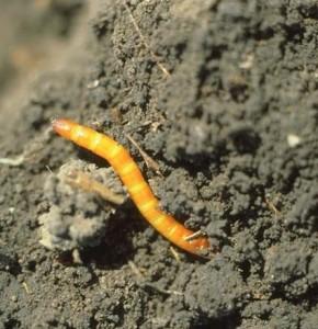 Wireworm in dirt