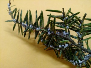 white fluff (adelgi) on tree