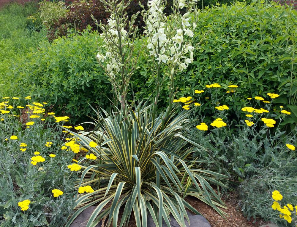 yucca filamentosa pollinator garden tour wednesday june 10 nc state extension