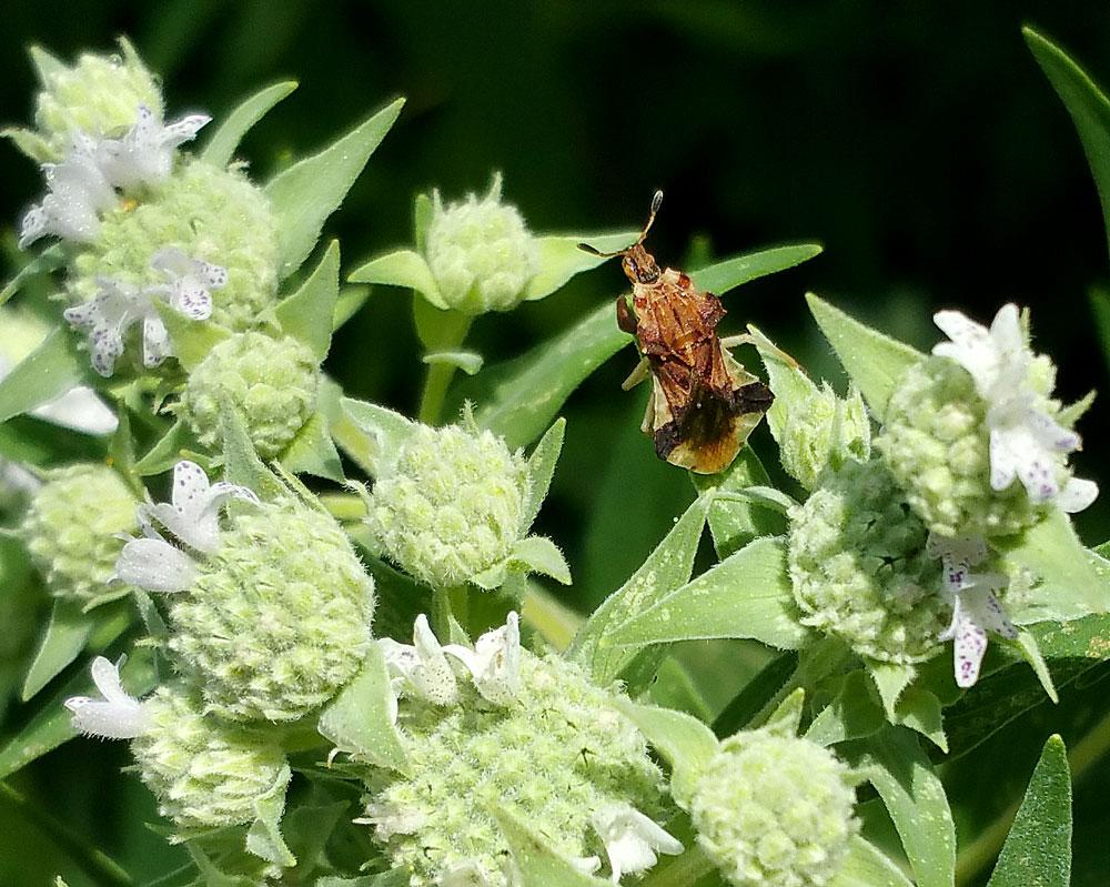 Ambush bug on mountain mint