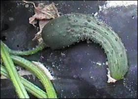 Misshapen cucumber
