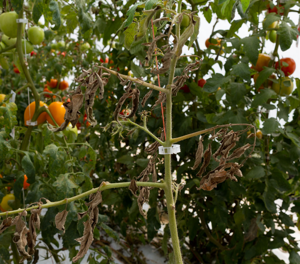 Damage caused by tomato bug feeding. Photo by Debbie Roos.