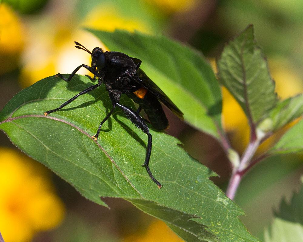 Mydas fly (Mydas clavata)  on oxeye daisy