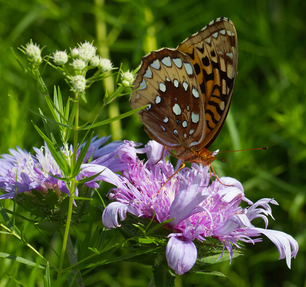 Great spangled fritillary on stoke's aster