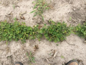 Agent 22. Peanut test plot for Early Post emergent herbicide sprays in peanut.