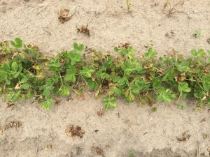 Agent 24. Peanut test plot for Early Post emergent herbicide sprays in peanut.