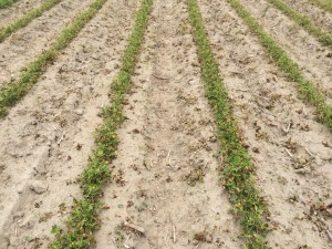 Agent 25. Peanut test plot for Early Post emergent herbicide sprays in peanut.