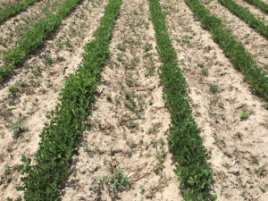 Agent 13. Peanut test plot for Early Post emergent herbicide sprays in peanut.