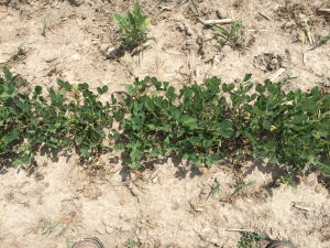 Agent 14. Peanut test plot for Early Post emergent herbicide sprays in peanut.