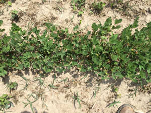 Agent 10. Peanut test plot for Early Post emergent herbicide sprays in peanut.