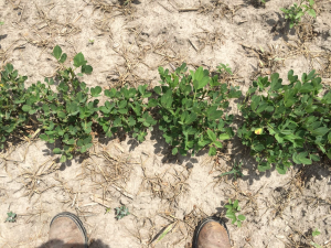 Agent 20. Peanut test plot for Early Post emergent herbicide sprays in peanut.