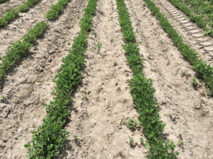 Agent 21. Peanut test plot for Early Post emergent herbicide sprays in peanut.