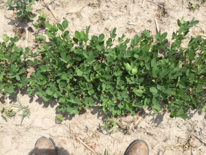 Agent 23. Peanut test plot for Early Post emergent herbicide sprays in peanut.