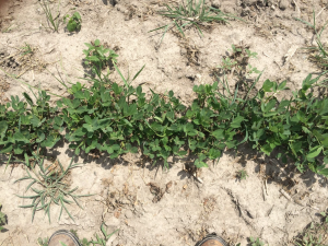 Agent 18. Peanut test plot for Early Post emergent herbicide sprays in peanut.