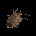 Brown stink bug adult.