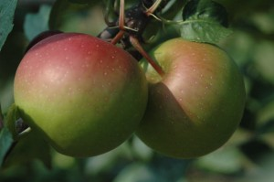 Cover photo for Current Western NC Orchard Pest Populations Sept 8, 2015