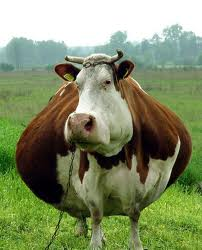 don t delay check your cows for pregnancy today north carolina