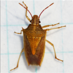 Rice stink bug adults are cigar shaped.