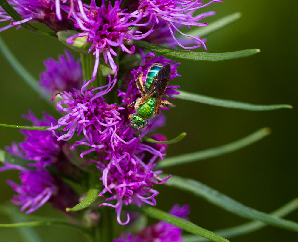 Sweat bee on gayfeather (Liatris spicata).