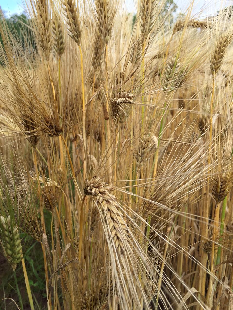 Barley maned: description, planting, care, use 20