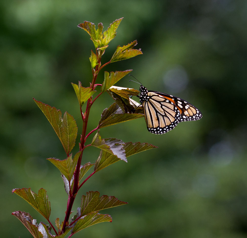 Monarch on eastern ninebark. Sadly this was the first monarch I had seen this year, way later than normal.