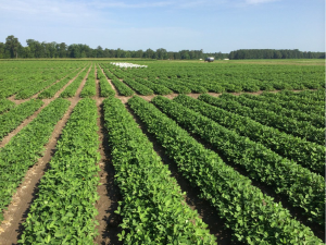 Figure 1. Peanut at Lewiston-Woodville on July 9 following 2 weeks of adequate rainfall for normal plant growth and development.