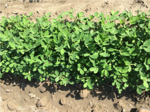 Figures 12, 13, and 14. Peanut planted May 27 with images recorded July 9.